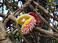 Couroupita guianensis (4).JPG