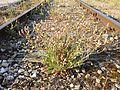 Crepis foetida subsp. rhoeadifolia sl7.jpg