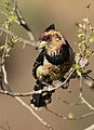 Crested Barbet, Trachyphonus vaillantii, at Walter Sisulu National Botanical Garden, Gauteng, South Africa (28900376484).jpg