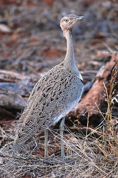 Ficheiro:Crested Bustard - Eupodotis ruficrista gindiana.jpg