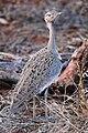 Crested Bustard - Eupodotis ruficrista gindiana.jpg