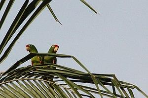 Finsch's parakeet - Image: Crimson fronted parakeet Osa