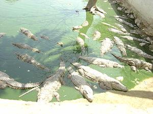 Pir Mangho - Pir Mangho shrine is known for its crocodiles.