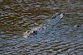 Crocodylus acutus Caye Caulker 01.JPG
