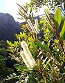 Cunonia capensis flowers on Devils Peak indigenous forest - Cape Town 3.JPG