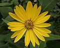 Cup Plant (Silphium perfoliatum) - Kitchener, Ontario 03.jpg
