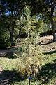 Cupressus cashmeriana - Quarryhill Botanical Garden - DSC03463.JPG