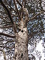 Cupressus guadalupensis trunk.JPG