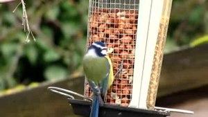 File:Cyanistes caeruleus -garden bird feeder-8.ogv