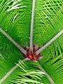 Cycas revoluta - top.jpg
