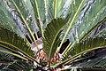 Cycas revoluta 18zz.jpg