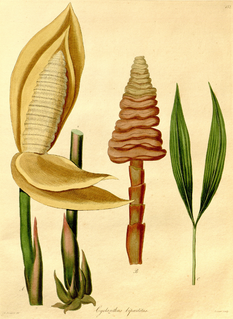 <i>Cyclanthus bipartitus</i> species of plant