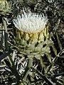 Cynara cardunculus bearing white flowers.jpg
