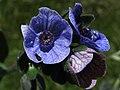 Cynoglossum creticum (7328790548).jpg
