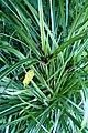 Cyperus ustulatus kz04.jpg