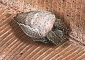 Cyrtophora.exanthematica.female.2.-.tanikawa.jpg