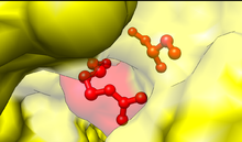 Cys and Arg active site of ubiquitin activating enzyme.png