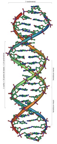 File:DNA Overview-es.png