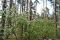 DSC 7029 Bacieczkowski Forest in Bialystok.jpg