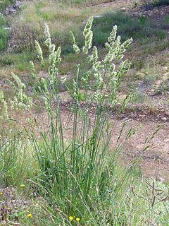<i>Dactylis glomerata</i> Species of grass