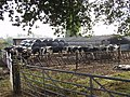 Dairy cows feeding on baled haylage - geograph.org.uk - 580085.jpg