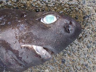 Kitefin shark - The head of a kitefin shark, showing the large eyes, stubby snout, and thick lips