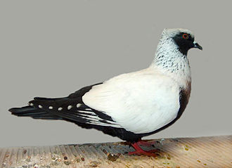 Fancy pigeon - Danish Suabian