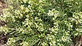 Daphne gnidium, beloved by bees, butterflies etc. (32222646394).jpg