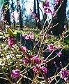 Daphne mezereum in Poznan Bot. Garden.jpg