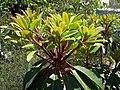 Daphniphyllum macropodum.jpg