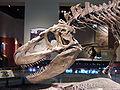 Daspletosaurus FMNH.jpg