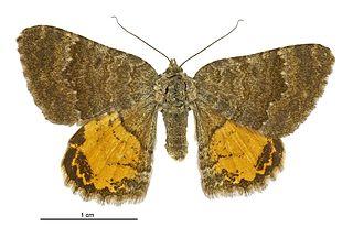 <i>Dasyuris enysii</i> species of moth
