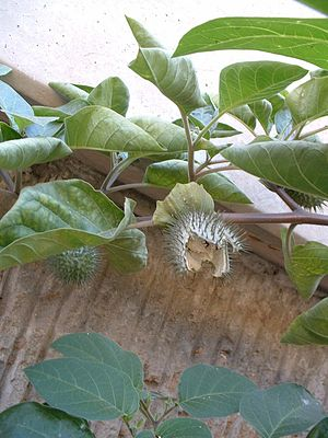 Datura innoxia - D. innoxia with ripe, split-open fruit