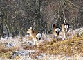Deer departing, Glen Cassley - geograph.org.uk - 657666.jpg