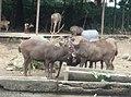 Deer in Zoo Negara Malaysia (17).jpg