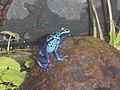 Dendrobates azureus.jpg