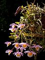 Dendrobium loddigesii Orchi 2013-05-05 022.jpg