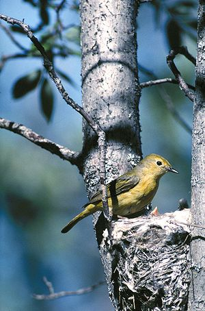 Yellow Warbler (Dendroica petechia) attends to the nest