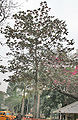 Desi Badam (Terminalia catappa) tree in Kolkata W IMG 2211.jpg