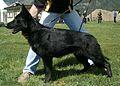 Deutscher Schaeferhund02.jpg