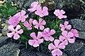 Dianthus glacialis 1.jpg