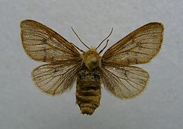 Diaphora sordida female.jpg