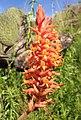 Dichromanthus cinnabarinus inflorescencia - cropped.jpg