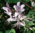 Dictamnus albus - Flickr - gailhampshire.jpg