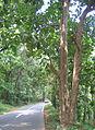 Dillenia pentagyna tree bark.jpg