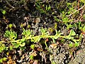 Diphasiastrum alpinum stem (01).jpg