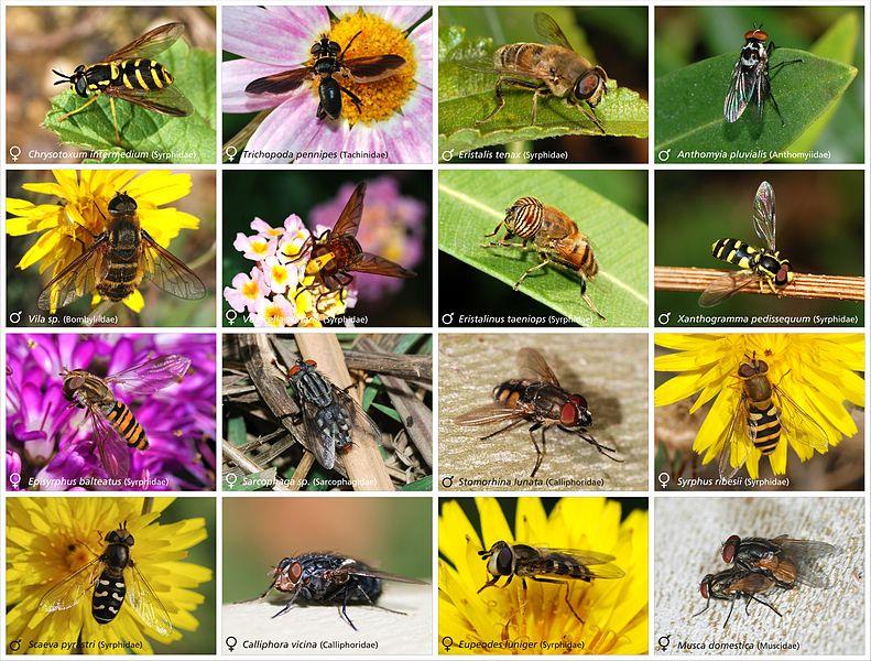 File:Diptera1.jpg