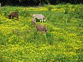Donkeys and Buttercups - geograph.org.uk - 1337858.jpg