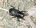 Dorcus miwai (28154102035) (cropped).jpg