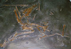 Dorygnathus - Specimen GPIT 1645/1